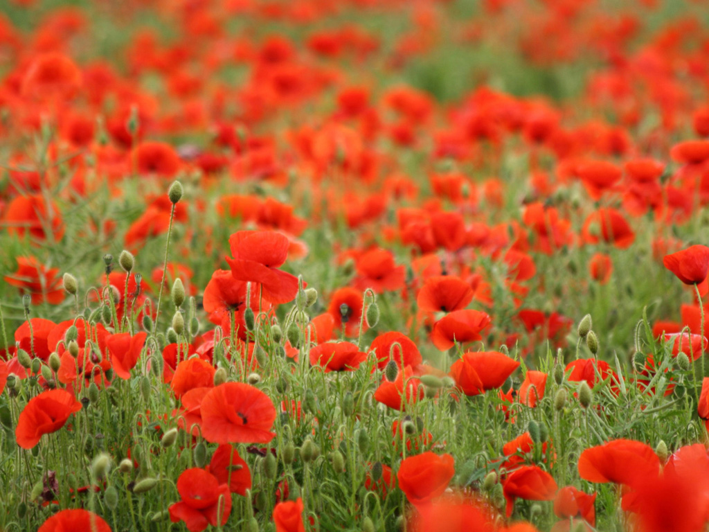 poppies flowers wallpaperfree