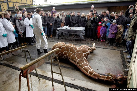Marius The Giraffe Skinned In Front Of Children And Fed To Lions