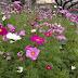 花開花落幾時 波斯菊花海