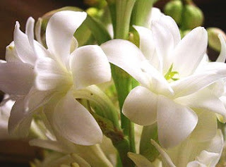 Tuberose Flower Health Benefits