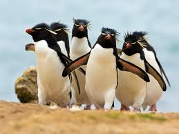 Rockhopper Penguins pictures