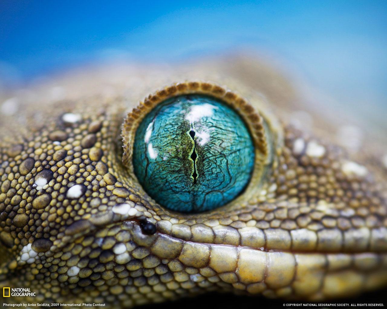http://1.bp.blogspot.com/-MIdF9FuzOSQ/TjY9hf91jsI/AAAAAAAAACg/hRvdrBTiQ98/s1600/National-Goegraphic-Green-Eyed-Gecko-wallpaper.jpg