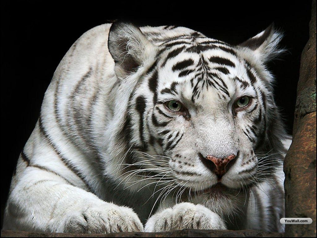 Pet Animals Wild Wallpapers Pictures White Tiger