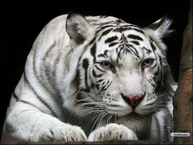 white tiger wallpapers desktop