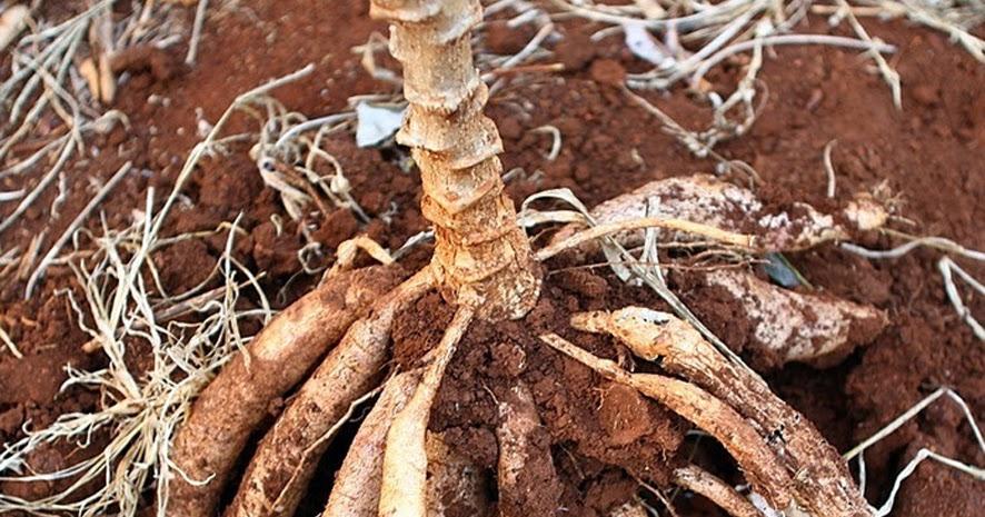 Hasil gambar untuk akar singkong