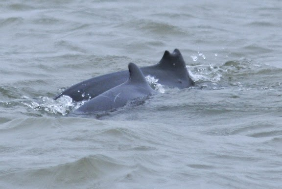 irrawaddy dolphins chilika lake