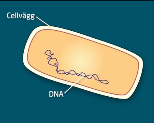 bakteriecell