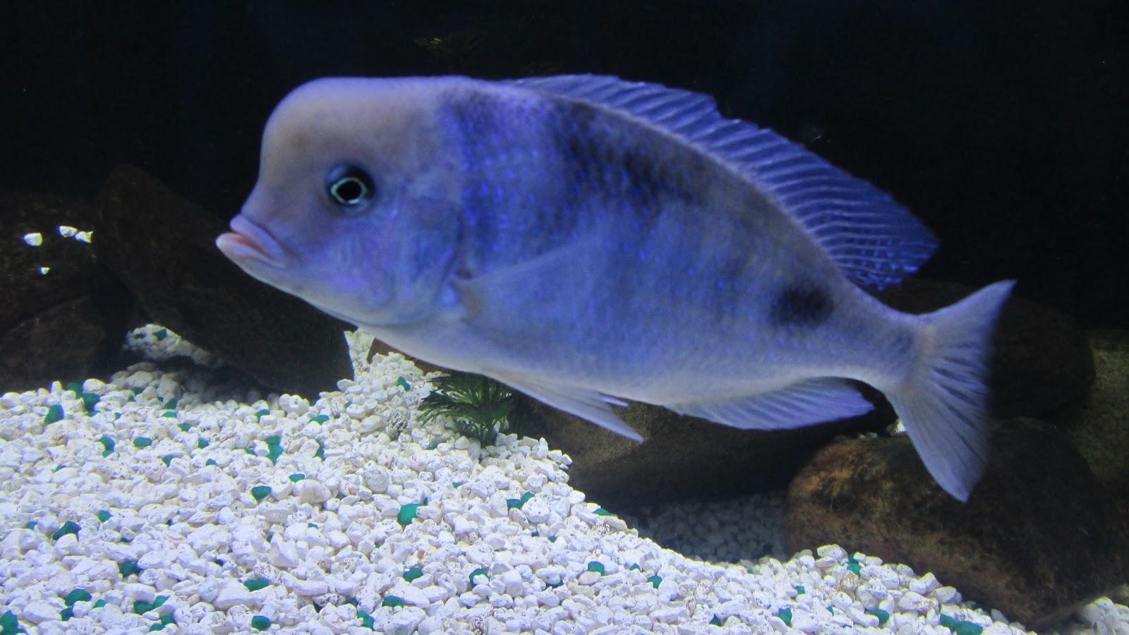 mal/tang fish: Cyrtocara moorii Blue Dolphin, 7-6-12