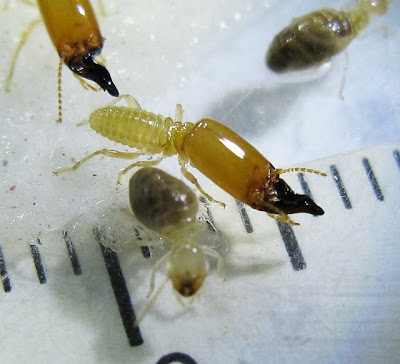 A soldier and worker of Pericapritermes termite