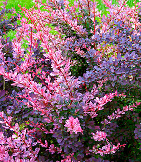 Red Barberry 'Rosy Glow'