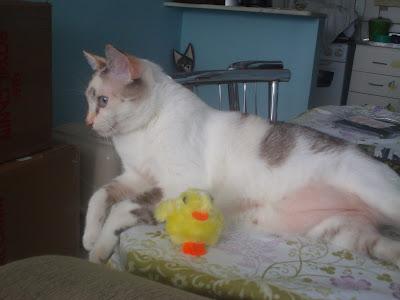 Gata Lili ao lado do pintinho amarelinho de brinquedo