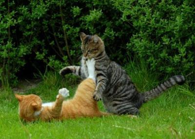 Foto kucing berantem