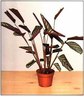 Если листья стали вянуть, как у этого растения, возможно, почва в горшке слишком суха.