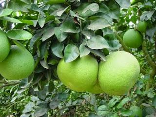 buah-jeruk-bali.jpg