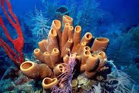 Porifera adalah hewan yang memiliki tubuh yang cukup sederhana