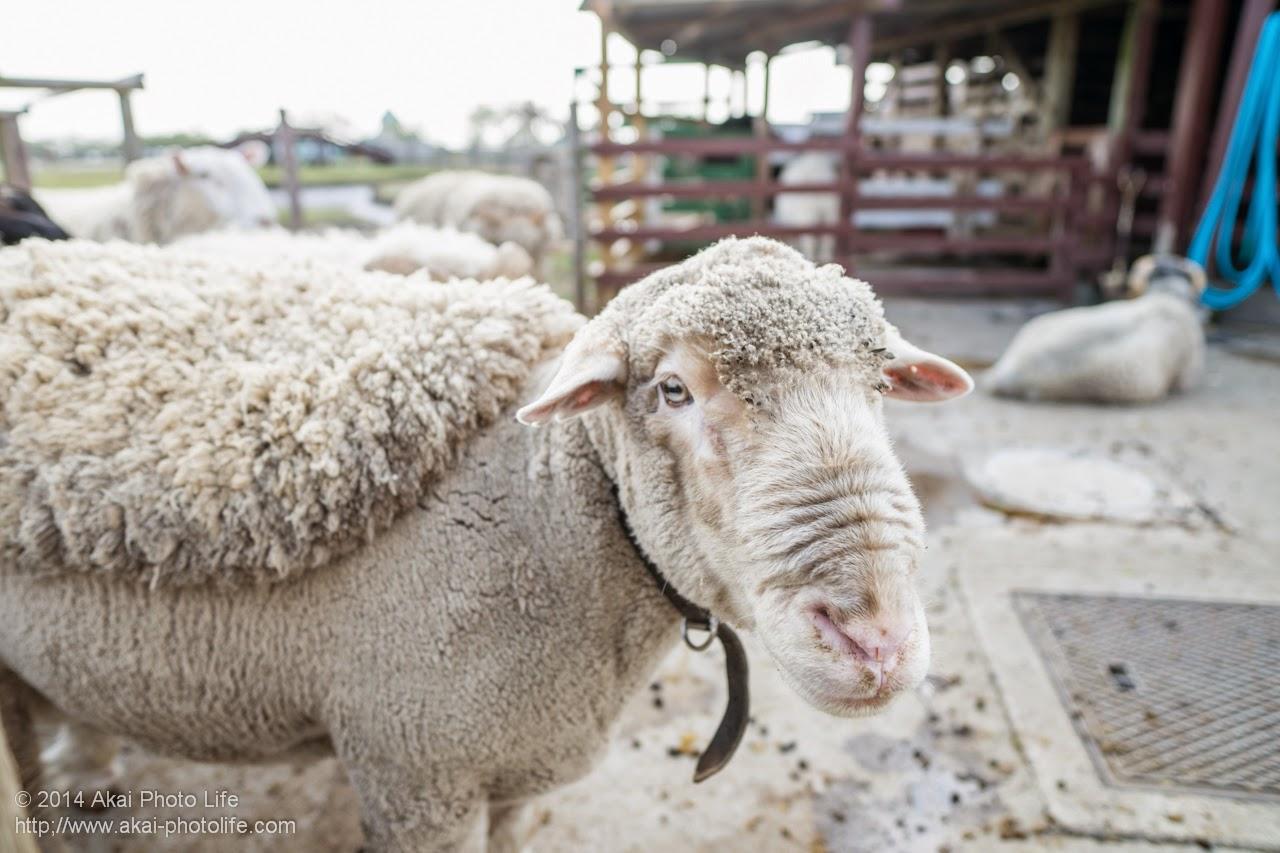 マザー牧場にいた羊