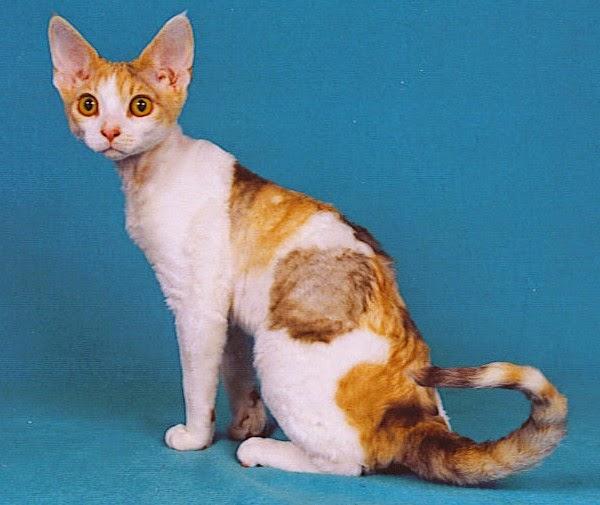 menores raças de gatos
