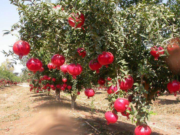 pome tree