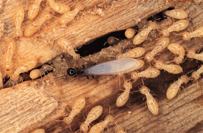 What Drywood Termites Look Like In Clearwater Florida Mobile Home
