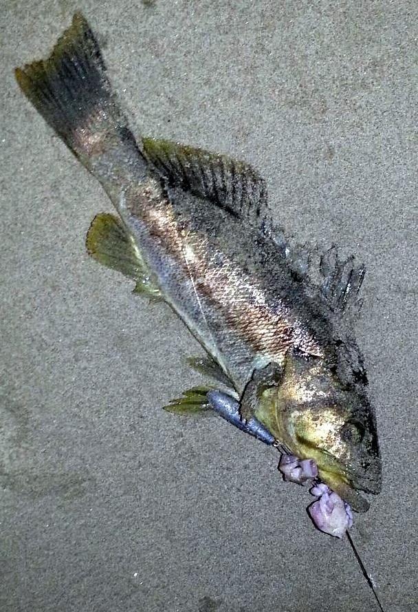 Burger 39 s fishing log october 2013 for Calico bass fishing