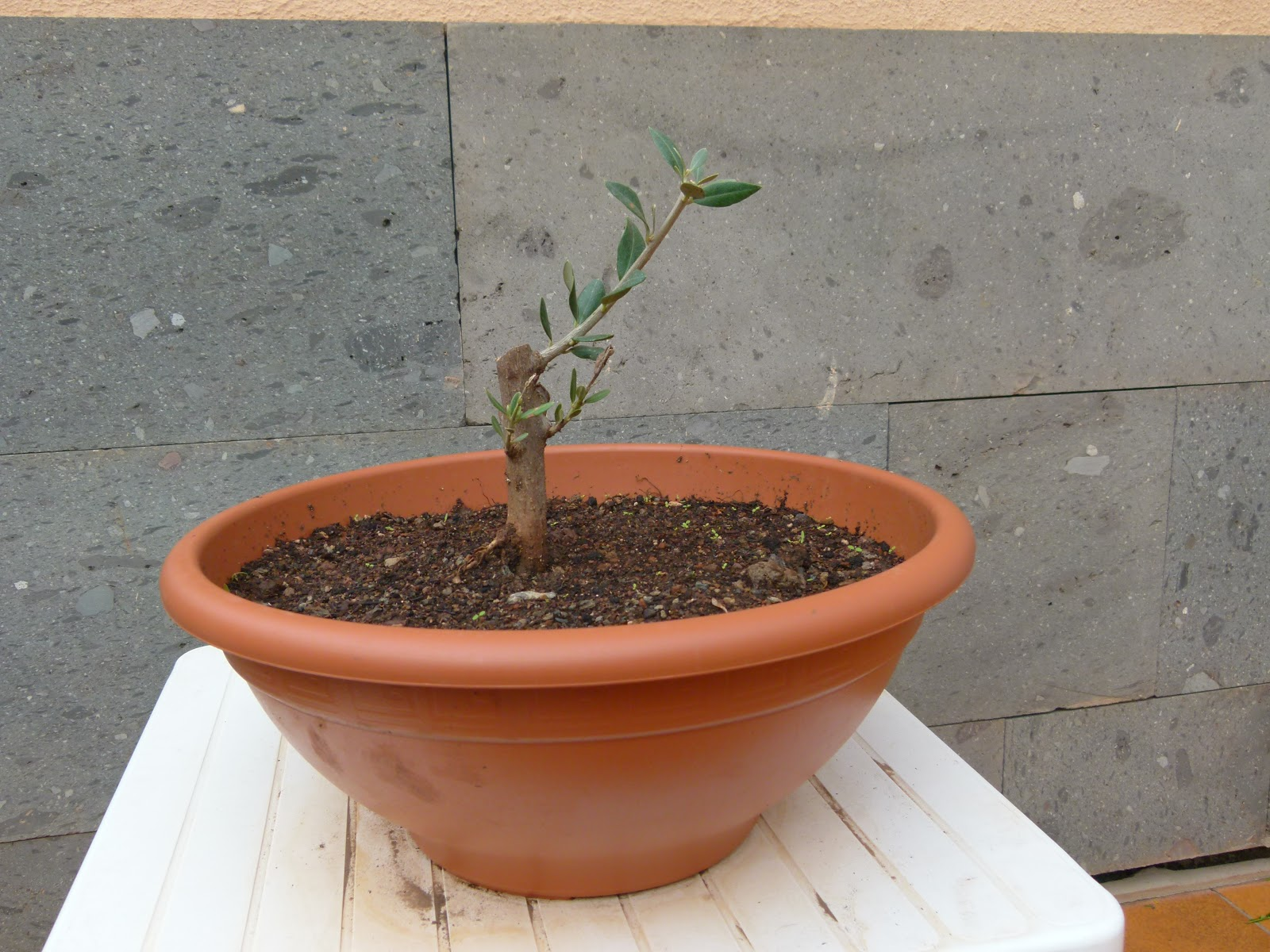 Ishi kasai mi primer olivo - Olivo en maceta ...