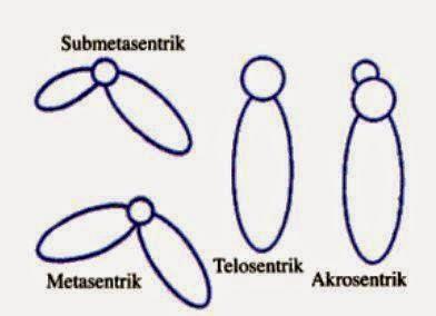 macam macam kromosom berdasarkan sentromernya