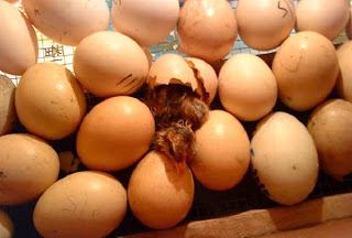 telur ayam - google