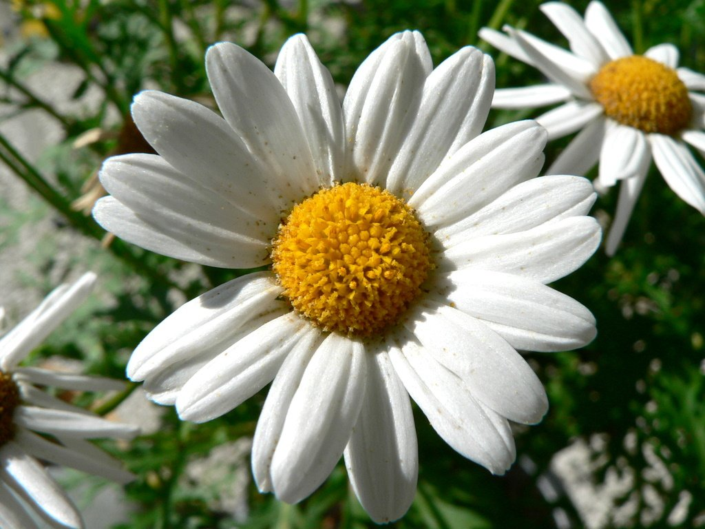 Flowers With Melancholy Daisy