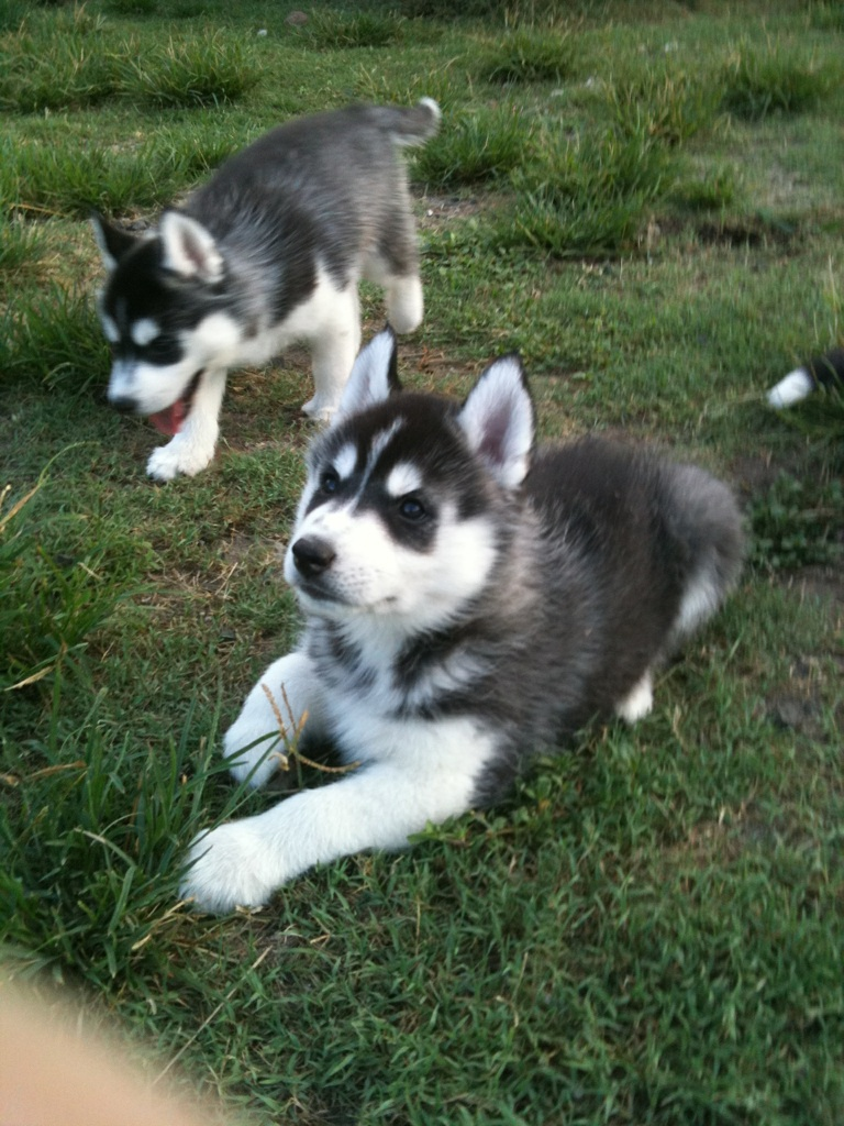 Non Shedding Hybrid Dog Breeds Picture Picture | Dog Breeds Picture