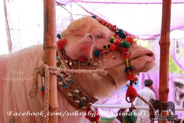 Albino Buffalo from Dua Cattle