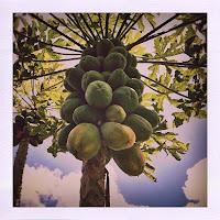 Homegrown papayas