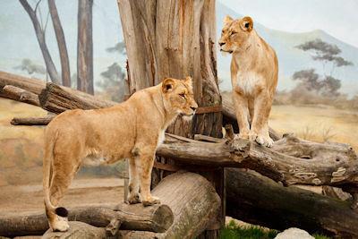 Dos leonas en su hábitat natural (Postales de Africa) - Animales salvajes lions