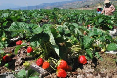 tanaman kebun strawberry