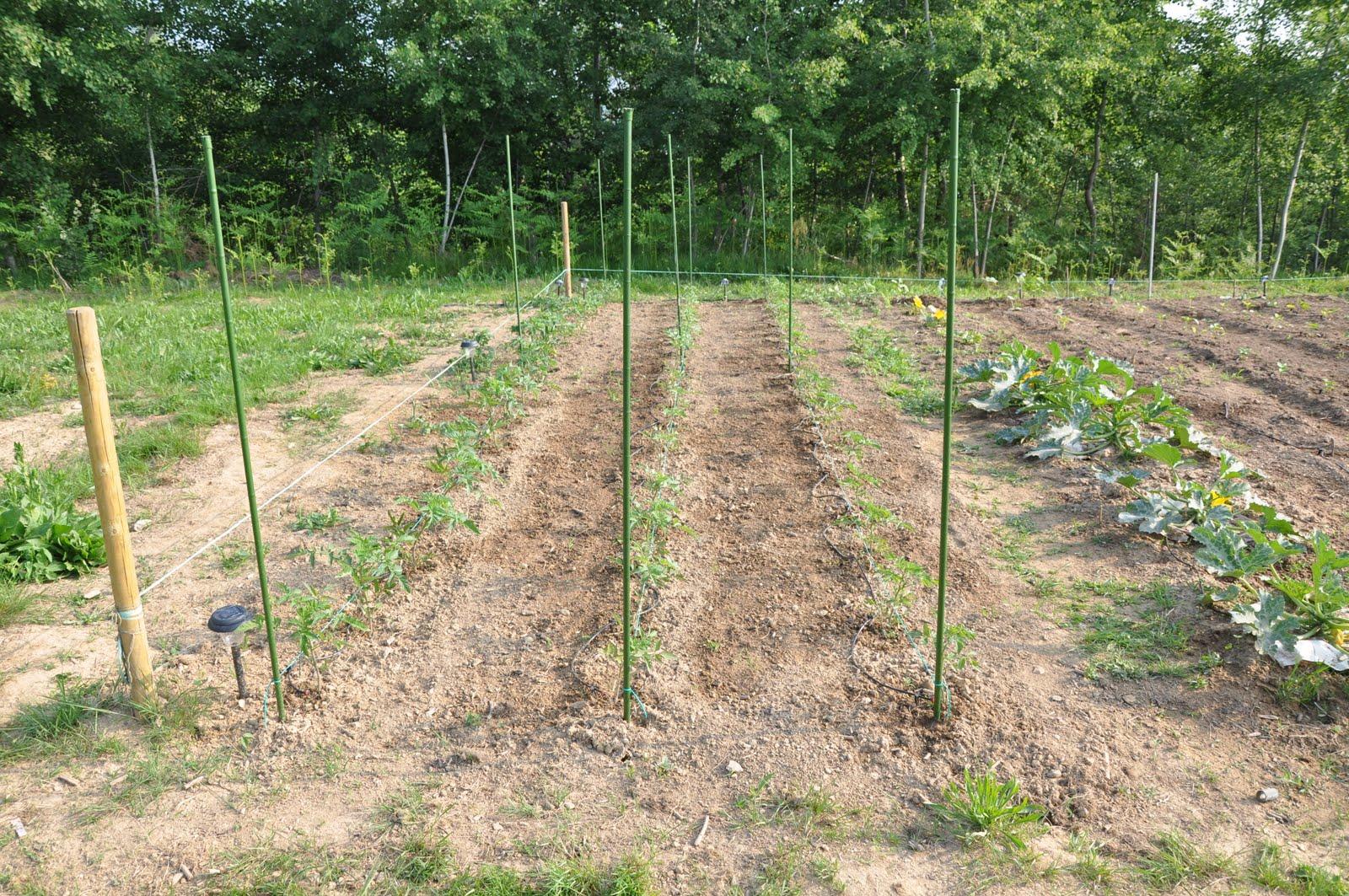 L 39 orto e altri maestri i pomodori for Piantare pomodori