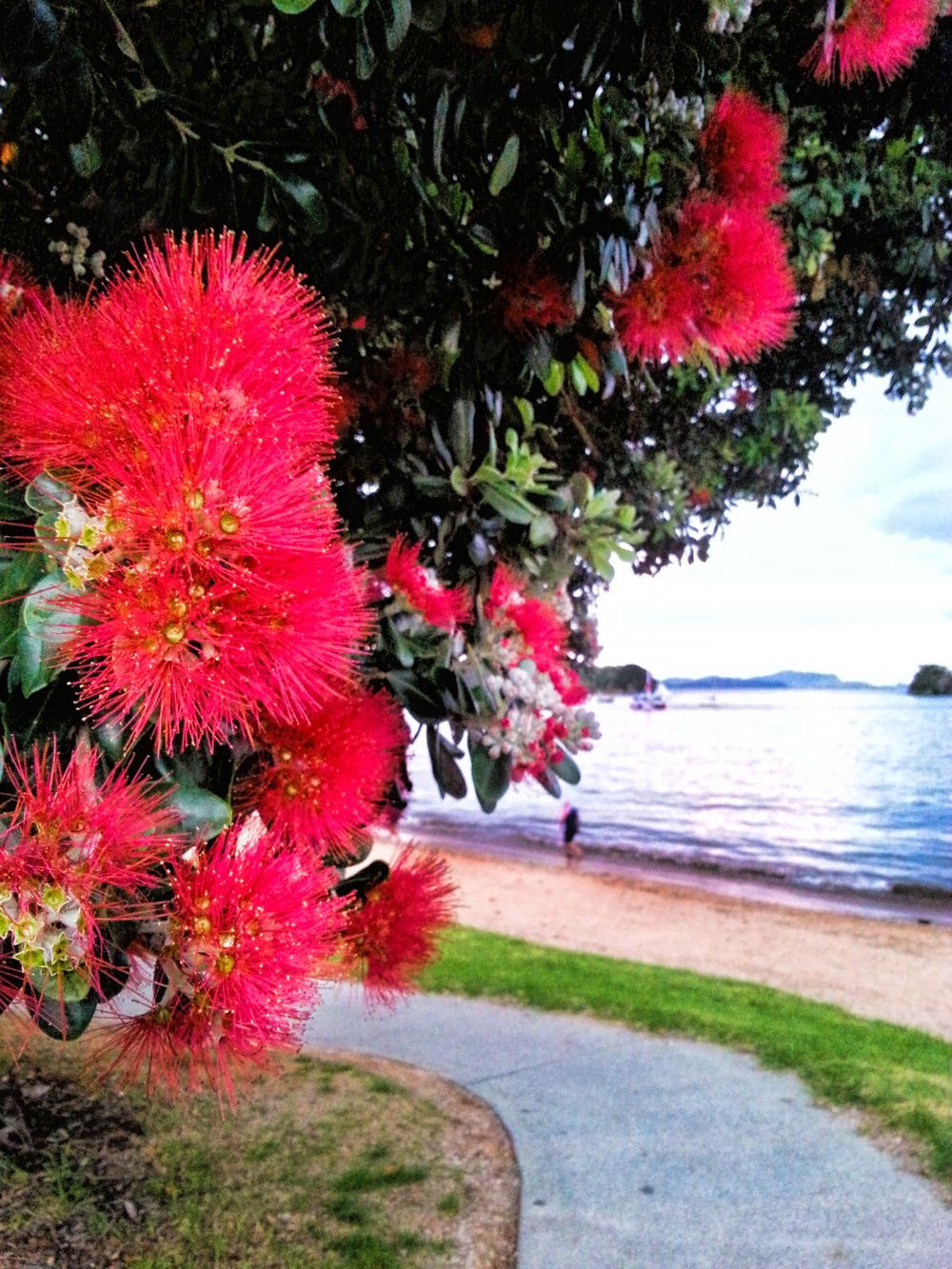 Pohutukawa with beach in the background