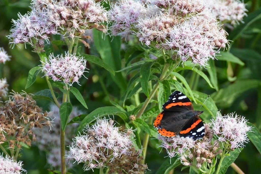 Kinderdijk butterfly