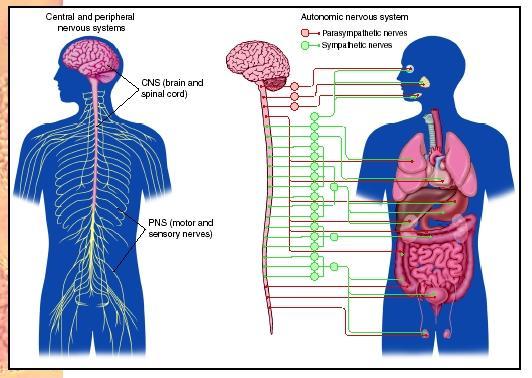 Ciencias de Joseleg: El sistema nervioso periférico