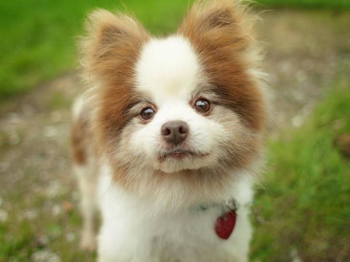 Pomeranian Beagle Mix Mitchum - pomeranian