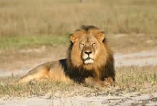 (ENGLISH): No charge yet for 2nd Zimbabwe lion killing suspect