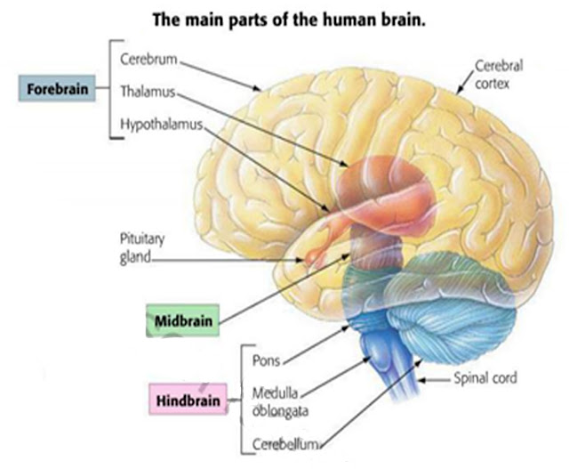 describe the major divisions of the nervous system and explain their major functions Nervous system - chapter 41 1 identify major parts of the brain and state their functions 9 describe list four functions of the nervous system explain.