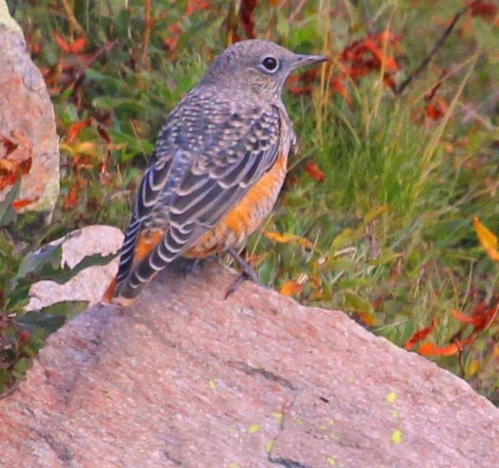 Rock Thrush, Vallter in the Catalan Pyrenees