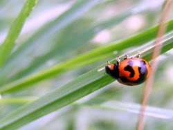 kumbang merah