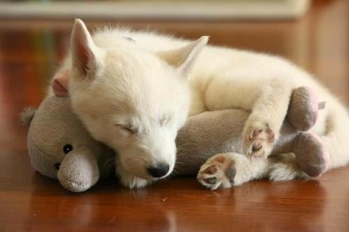 puppy cuddled with her favorite toy