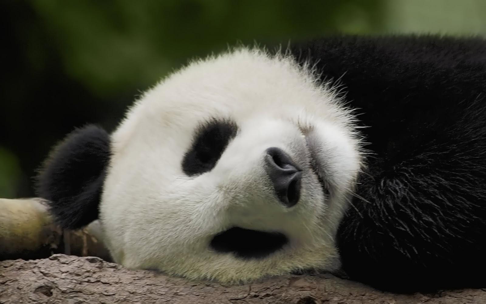 http://1.bp.blogspot.com/-MQ1a5PO2X2I/TsH8Vtddq3I/AAAAAAAAErU/qZqmY5npfbw/s1600/sleeping-panda-wallpaper-1920x1200.jpg