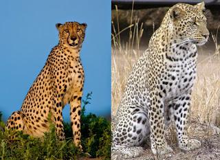 Cheetahs/Leopards