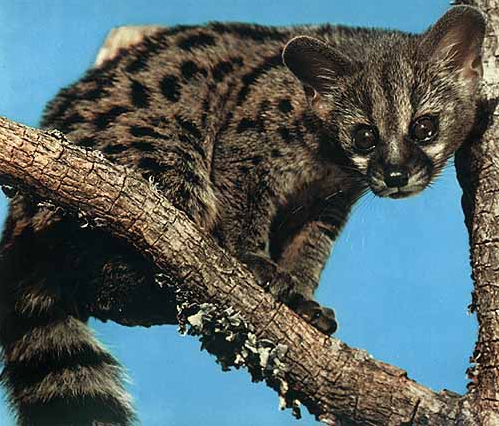 Asian palm civet endangered animals facts wildlife pictures and