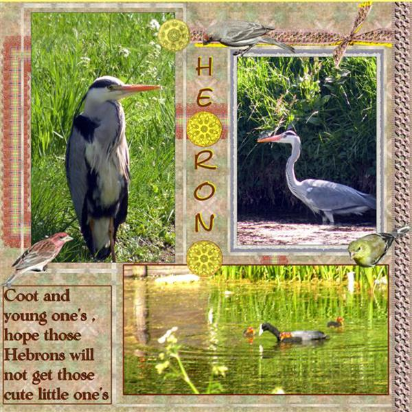Heron and Coots..