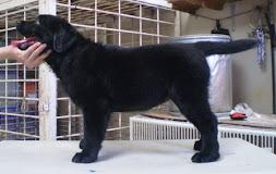 Anak Labrador-Cristy