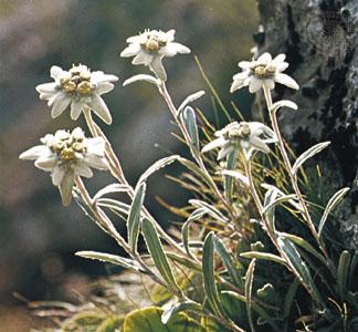 Bunga Edelweiss ,,, Bunga Abadi
