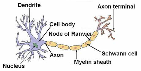 Sel Saraf Neuron Biologi Sma Islam Miftahussa Adah